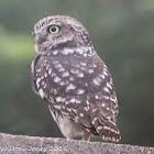 Little Owl; Mochuelo Común