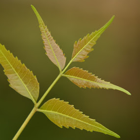 by Vasanth Photographer - Nature Up Close Leaves & Grasses ( macro, green, neem, nature close up )