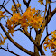 Yellow tabebuia