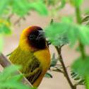 Northern Masked Weaver