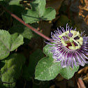 Stinking Passionflower