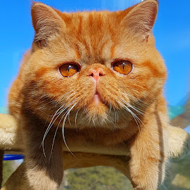 Leo by Tess Tess - Animals - Cats Portraits ( cat, red, sky, blue sky, nature, blue, persian, fur, cute, golden, eye, eyes, animal )