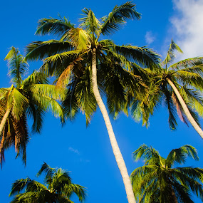 Tropical Palm Trees by Stephanie Walsh - Landscapes Travel ( blue sky, tropical, palm trees, paradise, tall trees )