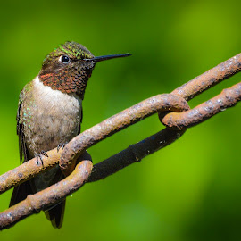 Irritated  by Brian Box - Animals Birds ( bird, red, green, hummingbird, small bird, humming bird )