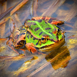 Crazy Frog by Marco Bertamé - Animals Amphibians ( frog, green )