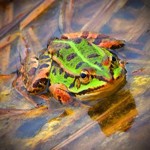 Azannes_2015-28c Frosch.jpg