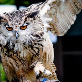 Owl by Colin Strain - Animals Birds ( bird, wing, european eagle owl, owl, raptor, eyes )