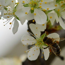Plum Tree Bee by Teresa Menard - Novices Only Flowers & Plants