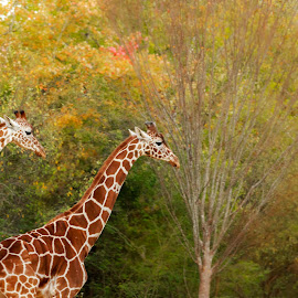 Long leg Pair by Rananjay Kumar - Animals Other ( canon, wild, pair, giraffe, africa, animal )