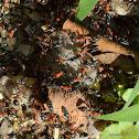 Bi-coloured Arboreal ant