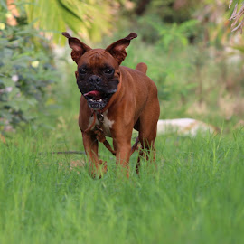 BUNTO THE BOXER by Karthik Patil - Animals - Dogs Running ( smiling dog, active dog, boxer dog, dog playing, happy dog )
