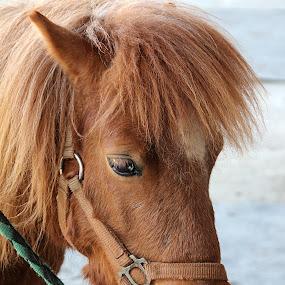 by Graça Cortez - Animals Horses (  )