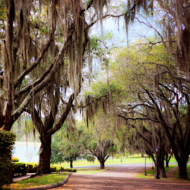 Spanish Moss by Sabrina Causey - City,  Street & Park  City Parks ( nature, oak, hodges gardens, trees, spanish moss )