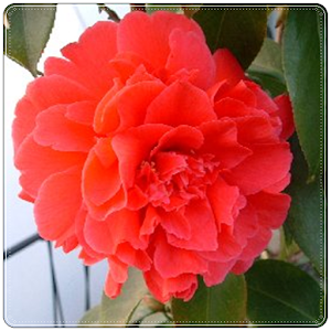 New Begonia Flowers Onet Game