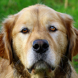 Isaac by Chrissie Barrow - Animals - Dogs Portraits ( labrador retriever, pet, stare, white, fur, ears, dog, nose, tan, portrait, eyes )