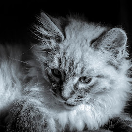 Rudy by Davide Sbiroli - Animals - Cats Kittens ( portait, kitten, cat, b&w, nikon )