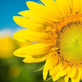 Sunflower by Winterlyn Stebner - Flowers Single Flower ( farm, plant, wisconsin, detail, macro, colorful, beautiful, sunflower, yellow, bud, flower )