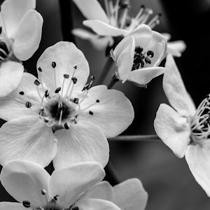 bw tree blossoms  (1 of 1).jpg