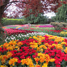 RoozenGaarde by Nancy Young - Flowers Flower Gardens ( colorful, gardens, tulips, flowers,  )