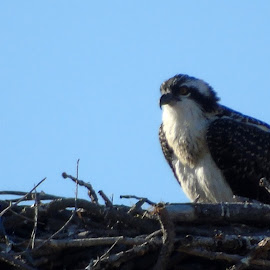OSPREY FAMILY by Cynthia Dodd - Novices Only Wildlife ( animals, bird of prey, nature, nest, wildlife, birds, osprey )