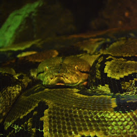 Eyes of Venom by Adhiraj Ghosh - Novices Only Wildlife ( wild, snake, wildlife, reptile, close up )