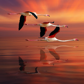 FLAMINGOS by Nasser Osman - Digital Art Animals ( bird, flying, reflection, flamingo, nasser osman )