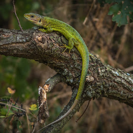 Green Lizard by Mario Borg - Animals Reptiles ( lizard, green, romania )