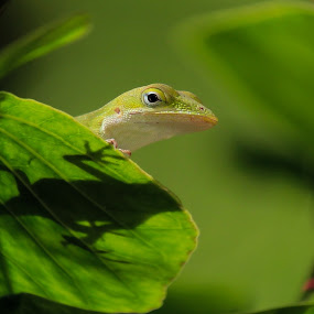 Anole lizard by Debra Martins - Animals Amphibians