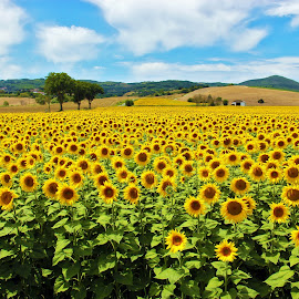 Sunflowers by Elena Salvai - Landscapes Prairies, Meadows & Fields ( field, field flower, summer, sunflower, landscape, landscapes, fields )