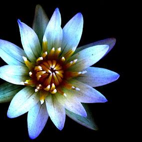 lotus by Yuliani Liputo - Nature Up Close Flowers - 2011-2013 ( lotus, macro, nature, water lily, flower )