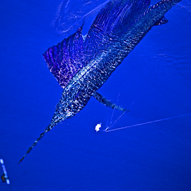 Blue Sailfish by Chris Wilson - Animals Fish ( water, blue, fish, sportfishing, sailfish, pacific ocean, costa rica, central america )