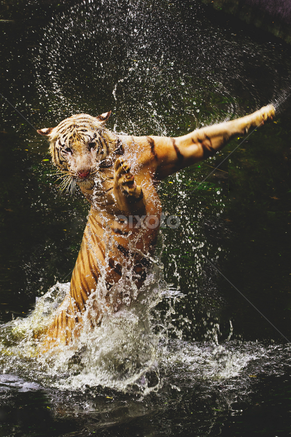 jump by Ivan Lee - Animals Lions, Tigers & Big Cats ( canon, splash, tiger, animal,  )