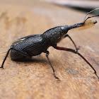 Bearded Weevil, Bottlebrush Weevil