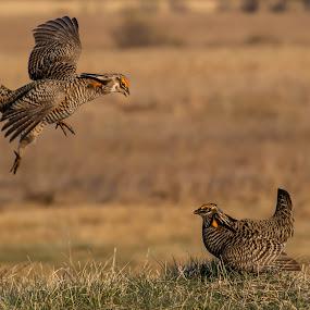Prairie Chickens by Tom Samuelson - Animals Birds