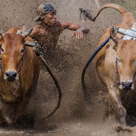 Go go go by Kampia Bareh - Sports & Fitness Rodeo/Bull Riding ( west sumatera tourism, minangkabau, indonesia tourism, racing cows, pacu jawi )