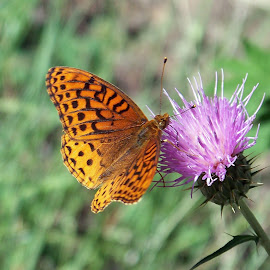 Sweet Thistle Nectar by Greg Johnson - Nature Up Close Other plants ( butterfly, thistle, purple, grass, green, nectar, forest, mormon lake, yellow, insect, close up, sweet, nature, arizona, gold, black )