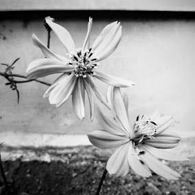 black&white by Erl de Jose - Black & White Flowers & Plants ( nature, black and white, plants, postcard, flower )
