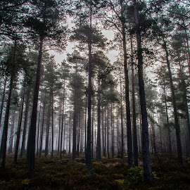 Mist in the forest  by Gordon Bain - Landscapes Forests ( dawn, tall pines, misty )