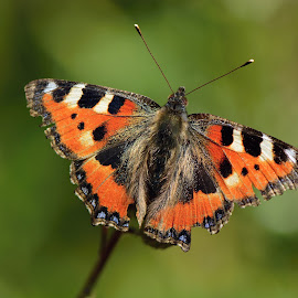 Small Tortoiseshell by Vita Kalivoda - Animals Insects & Spiders ( butterfly, macro, nature, depth of field, insect, close up, bokeh, animal )