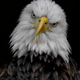 by Shelly Wetzel - Animals Birds ( bald eagle )