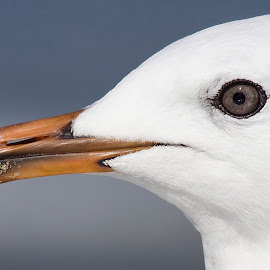 Seagull by Cathi Duck - Uncategorized All Uncategorized ( details, sunny, beach, close up, bird photography )