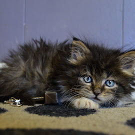 Thor by Rebekah Cameron - Animals - Cats Kittens ( love, kitten, blueyes, happiness, dlh )