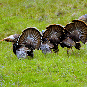 Gobbler Brothers by Todd Ratisseau - Animals Birds ( show offs, awesome, wild turkeys )