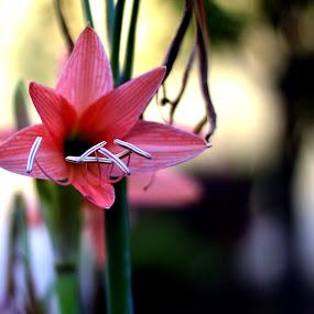 Flower by Vinod Rajan - Flowers Single Flower ( flowers, pink, gardens, garden, pink flower, flower, stem,  )
