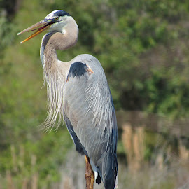 Great Blue Heron by Shari Linger - Animals Birds ( large birds, great blue heron, tropical, waterways, water birds, waterscapes, bayou )