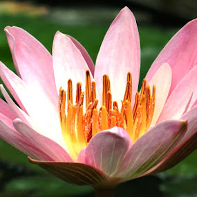 small pink flower lotus by Dubravka Bednaršek - Flowers Single Flower (  )