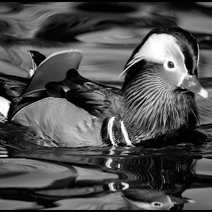 Mandarin Duck-93.jpg