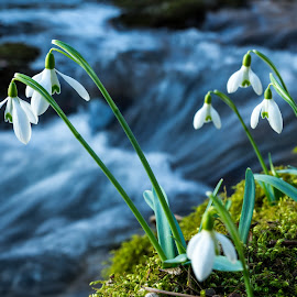 Snowdrops by Blaž Kastelic - Nature Up Close Other plants ( winter, nature, green, creek, beautiful, snowdrops, nature up close, nikon, flowers, pretty, spring, photography )