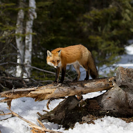 Female Red Fox by D Marwood - Animals Other Mammals ( algonquin provincial park, fox, canada, wildlife, ontario, logging, natural habitat, red fox, student photographer, provincial park, red, winter, nature, snow, algonquin park, canadian winter )