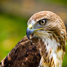 Pretty Pose by Kain Dear - Animals Birds ( bird, bill, beak, falcon, peregrine, feathers, bokeh, eyes )
